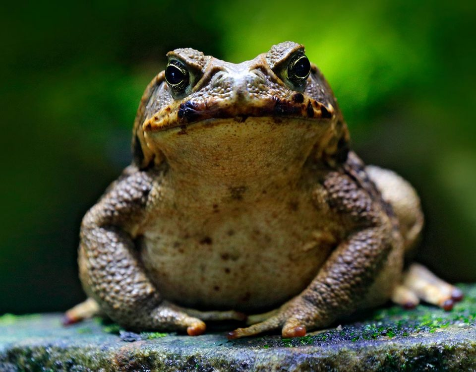 Frogs that Get You High: The Dangers of Toad Licking